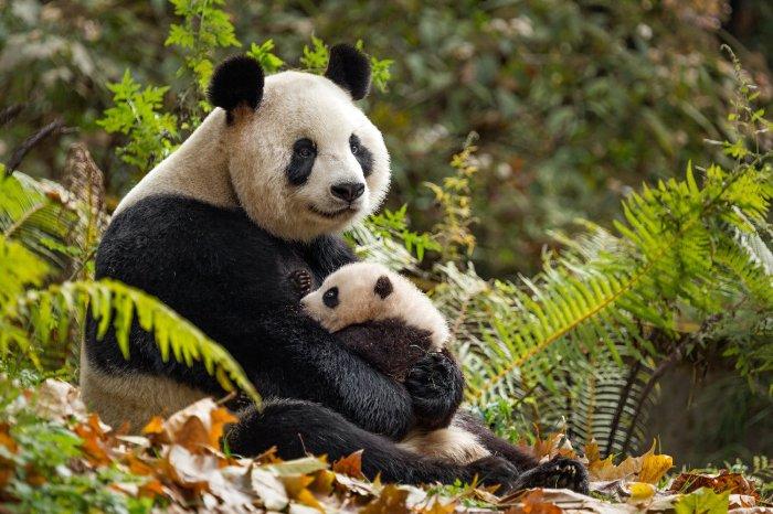 Nes-en-chine-Panda